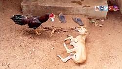 جنگ دیدنی یک خروس در مقابل دو سگ