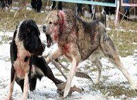جنگ عجیب سگ ها