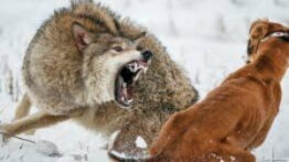 جنگ هولناک سگ و گرگ