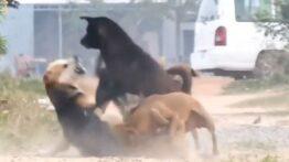 جنگ وحشیانه بین سگ های ولگرد