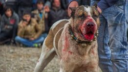 جنگ و نبرد بین سگ های وحشی