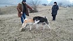 جنگ و نبرد سگ های ایرانی – رویارویی سگ ها