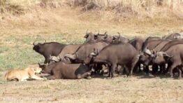 حمله دو شیر به گله بوفالوها و فرار شدید بوفالوها را حتما ببینیدو لذت ببرید
