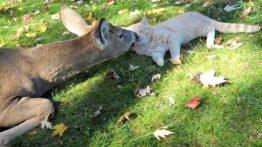 دوستی بیش از حد بچه گربه با بچه آهو