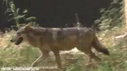 زیباترین گرگ های جهان