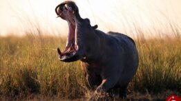 شکار پیچیده و عجیب بوفالوی وحشی در افریقا