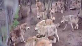 فرار عجیب زیبای سگ ها وقتی گرگ به گله گوسفندان حمله میکند