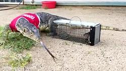 مارمولک بزرگ گرسنه و شکار سنجاب