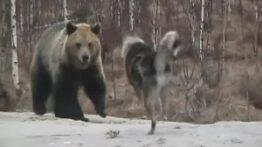 نبرد سگ هاسکی و خرس