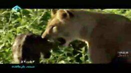 نجات بچه گوزن از دست کفتار ها توسط شیر ماده