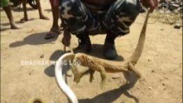 اژدهای کومودو و شاه مار کبرا درحال خوردن هم و دخالت بسیار وحشتناک مارگیر هندی HD