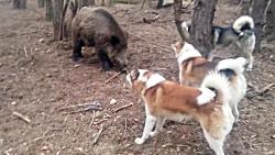 جنگ سگ های وحشی با گراز های وحشی