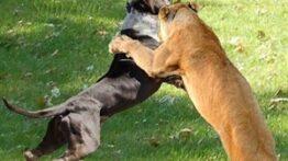جنگ و نبرد سگ ها با حیوانات وحشی