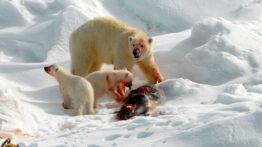 خرس قطبی و شکار توله خرس