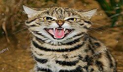 خطرناک ترین نژاد گربه
