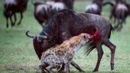 فیلم جالب و دیدنی شکار حیوانات وحشی و جنگ کفتارها