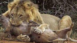 وحشتناک ترین و ترسناک ترین زنده خوری حیوانات توسط کفتارها