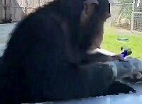 کلاس انلاین میمون جنتلمن (صداگذاری خنده دار)رر