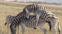 تزاوج الحيوانات ذكر الحمار الوحشي الدموي يقاتل من أجل التزاوج