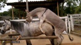 تزاوج الخيول و الحمير