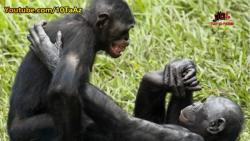 تزاوج القرد
