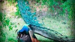 جفت گیری طاووس