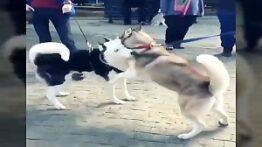 جنگ دیدنی بین سگ های هاسکی