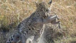 شکار کل حیوانات توسط پلنگ