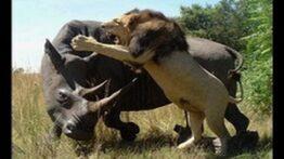 لحظاتی ترسناک از شکار شیر ها – جنگ و نبرد حیوانات نبینی از دستت رفته!