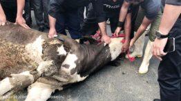 کشتن گاو در محرم