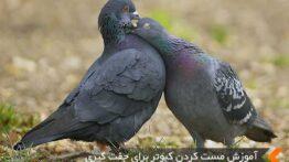 یک جفت کبوتر عاشق