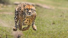 بازی خطرناک یک مرد با یوزپلنگ حوادث حیوانات