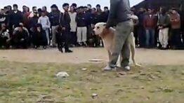 جدال سگ سرابی با آلابای