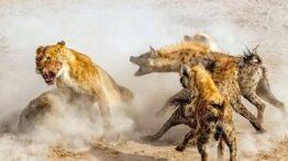 جنگ حیوانات وحشی، جنگ حیوانات ،