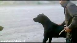 جنگ خونین سگ تایبادی به اسم ظالم با سگ خرسی به اسم جلاد