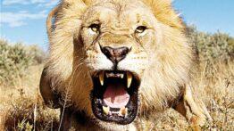 جنگ خونین هیونا با شیر – نبرد حیوانات