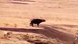 جنگ شیرهای افریقایی با همه حیوانات در حیات وحش افریقا
