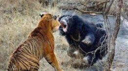 جنگ و مبارزه حیوانات وحشی