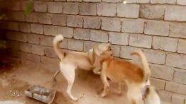جنگ و نبرد سگ ها حیوانات خشمگین نبرد