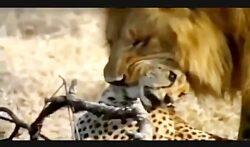 شیر در برابر یوزپلنگ – جنگ و نبرد خونین سگ وحشی و کفتار – نجات بچه گاومیش