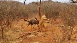 فرار شیر از دست گوزن یالدار پس از کتک خوردن