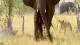 فیل قدرتمد ترین مادر بین حیوانات – جنگ و نبرد خونین حیوانات