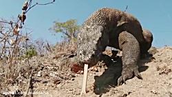مستند حیات وحش شکار مار کبری توسط اژدهای کومودو