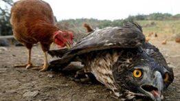 🎥 شکست عقاب از مرغ😐 جنگ عقاب و مرغ