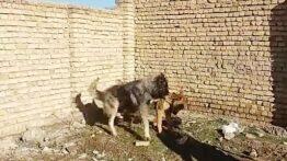 جنگ خفن خونین سگ سرابی با سگ خرسی