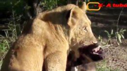 جنگ خونین بین سگ ها و شیر سگ ها و کفتار سگ ها و خرس 18+