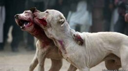 جنگ سگ های وحشی