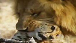 جنگ شیرها و پلنگها بخاطر شکار حیوانات حیات وحش افریقا
