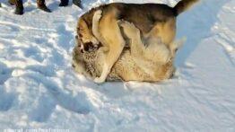 جنگ مرگ بار حیوانات وحشی