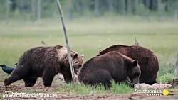 جنگ و نبرد خرس گریزلی با گرگ ها